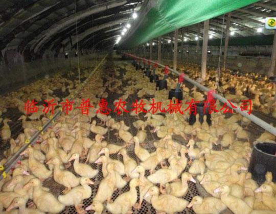 养鸭设备厂家介绍夏季养鸭技术